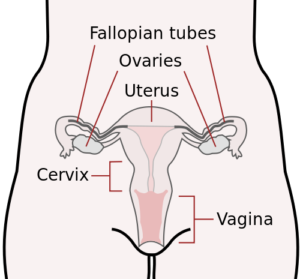 Where is the Cervix?