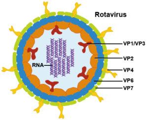 Diagram of Rotavirus